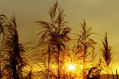 image of bulrushes  - The bulrushes against sunlight over sky background in sunset - JPG