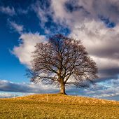 Maple Tree On The Hill