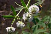 Trifolium And Bee