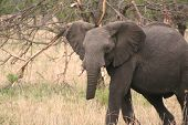 Elefante ferido