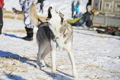 stock photo of sled-dog  - husky sledding dog after sledding  cup howling - JPG