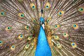 Retrato de pavão com penas para fora