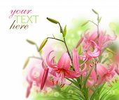 pic of asiatic lily  - Beautiful asiatic pink lily flowers on white background it is isolated - JPG