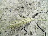 Ear on the dried field.
