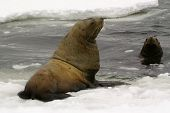 Northern Sea-lion (eumetopias Jubatus)