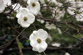 Unknown flowering tree with big white  flowers