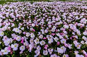 A Meadow Teeming with Hundreds of Texas Pink Evening Primrose Wildflowers.