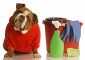 Bulldog In Red Sweater With Cleaning Supplies