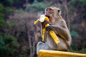 stock photo of banana tree  - One monkey sits on the stone and eats banana - JPG