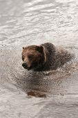 Fun with Grizzlies - Splish Splash