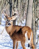 picture of buck  - Whitetail Deer Buck standing in the woods in winter snow - JPG
