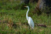 Western Reef Heron White Morph