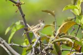 Zitting Cisticola Perching