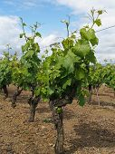 foto of anjou  - White Chenin vineyard after blossoming Layon France - JPG