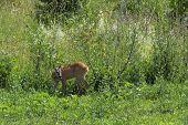 Roe Deer Doe In The Big Grass