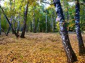 In The Autumn Birch Grove