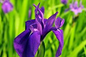 Flower of the iris