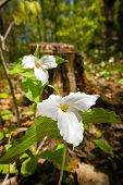 Two White Trilliums
