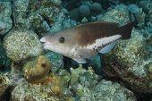 Queen Parrotfish - Initial Phase - Bonaire