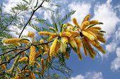 Acacia Crassa