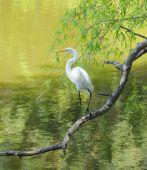 Great Egret Perched On A Limb