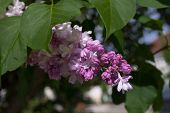 Beautiful, Purple Lilacs Bloom On A Bush
