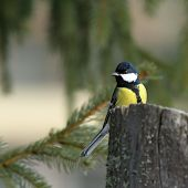 Great Tit In Spruce Forest