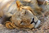 Drowsing lion