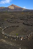 Winery Lanzarote Spain  Cultivation Viticulture