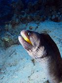 Yellow mouth moray