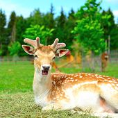 Yound deer on a farm