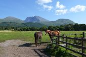 Horses and Ben Nevis - The Highest Mountain In Uk