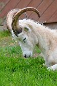 Wild goat Nova Scotia Canada