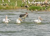 Marabou Stork Chasing Three Great White Pelicans
