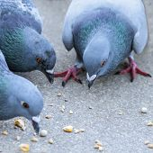 Parisian rock pigeons (Columba livia) at the edge of the Seine
