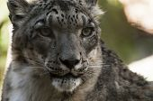 picture of snow-leopard  - Head and Shoulders shot of a snow leopard