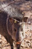 picture of javelina  - Javelina or collared peccary in the Sonoran Desert - JPG