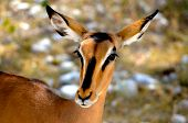 stock photo of antelope  - a close up of an antelope in southern africa - JPG
