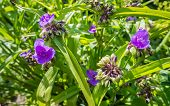 Lilac Flowering Virginia Spiderwort