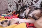 Lazy husky dog laying on blanket