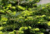 Young Spruce Branches Background