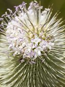 Thistle with lavender flowers - Dipsacus fullonum