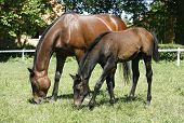 Purebred mare and her foal in meadow