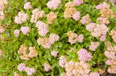 flowers of Spiraea japonica Japanese Dwarf