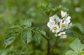 White flowering Solanum tuberosum, potato