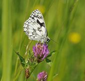 pic of red clover  - Marbled White Butterfly - Melanargia galathea