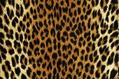 picture of leopard  - Close up black spots of a leopard - JPG