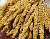 The crops of millet for aborigines