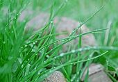 foto of grown up  - Close up of green chives grown in the garden - JPG