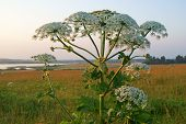 pic of gentle giant  - Heracleum plant also called cow parsnip in riverside meadow at sunset - JPG
